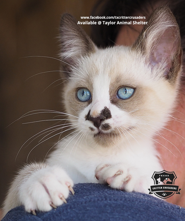 siamese snowshoe mix male kitten adopted texas critter crusaders